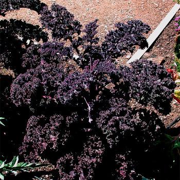 Redbor Hybrid Kale