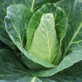 Caraflex Cabbage