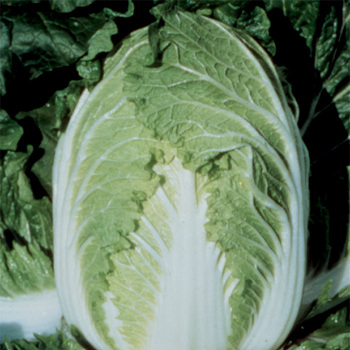 China Express Hybrid Cabbage