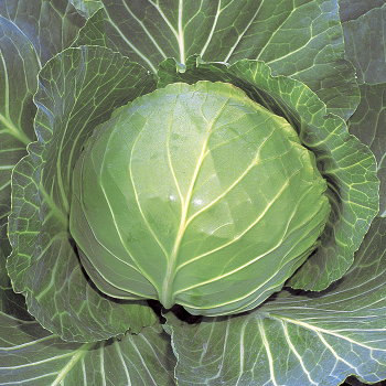 Quick Start Hybrid Cabbage