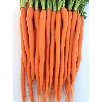 Candysnax Hybrid Carrot