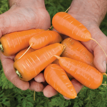 Caracas Carrot