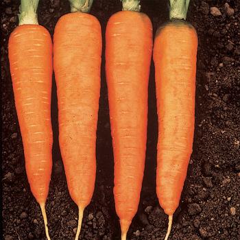Kuroda Ps Carrot