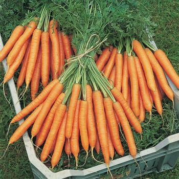 Mokum Hybrid Carrot
