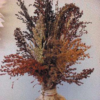 Colored Broom Ornamental Sorghum