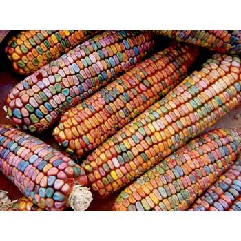 Earth Tone Dent Ornamental Corn