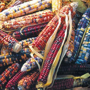 Mandan Bride Ornamental Corn