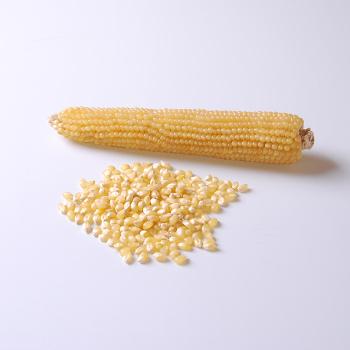 Robust White Hybrid Popcorn