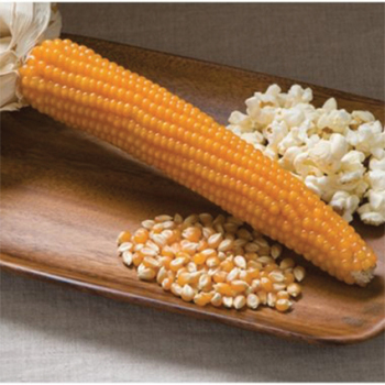 Creme Puff Hybrid Popcorn