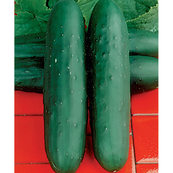 Dasher 2 Hybrid Cucumber