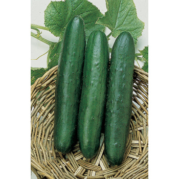 Sweet Slice Hybrid Cucumber - 30 seeds