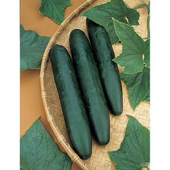 Sweet Success Hybrid Cucumber - 15 seeds