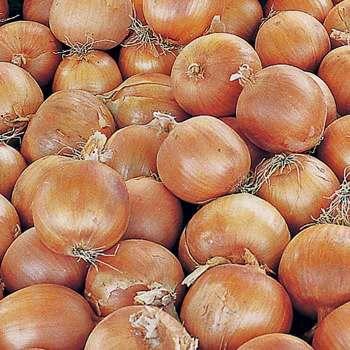 Copra Hybrid Onion Seed