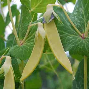 Golden Sweet Snow Pea