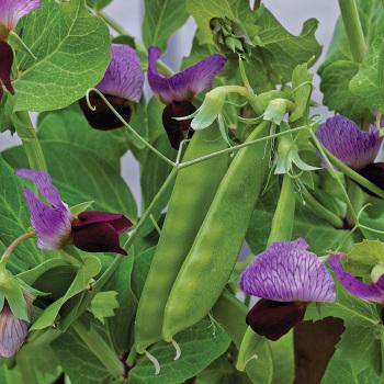 Little Snow Pea Purple Hybrid Pea