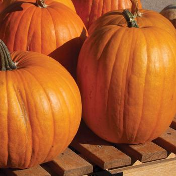 Connecticut Field Pumpkin