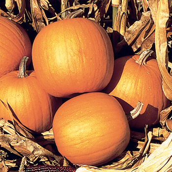 Spirit Hybrid Pumpkin