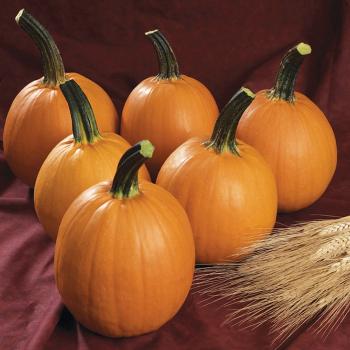 Rockafellow Hybrid Pumpkin