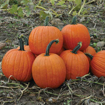 Magic Lantern Hybrid Pumpkin