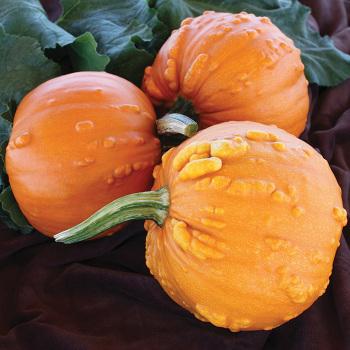 Toad Hybrid Pumpkin