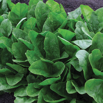 Imperial Green Hybrid Spinach