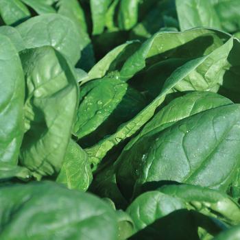 Renegade Hybrid Spinach