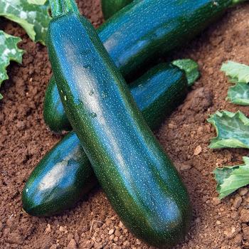 Astia Hybrid Zucchini - 15 seeds