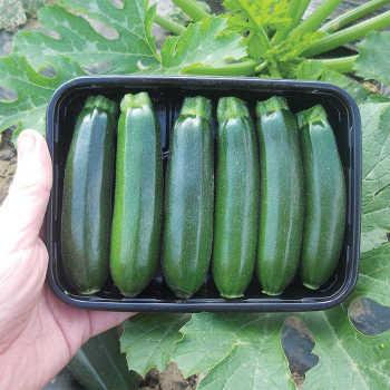 Baby Boom Hybrid Zucchini