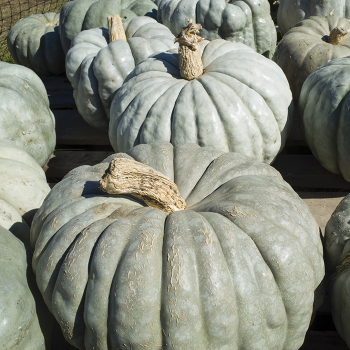 Jarrahdale Winter Squash (Pumpkin)
