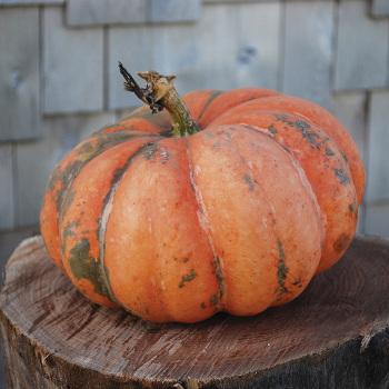 Moranga Squash Pumpkins Vermont Bean Seed Company