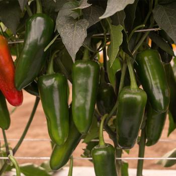 San Joaquin Hybrid Pepper Plant