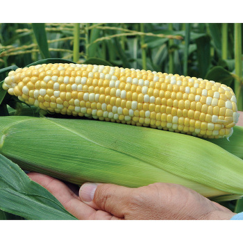 Aces Hybrid Sweet Corn