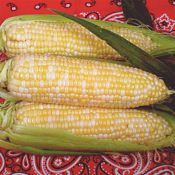 Luscious Hybrid Sweet Corn