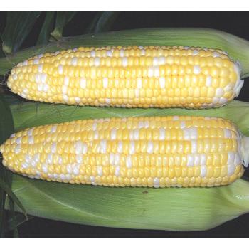 Mirai 315bc Hybrid Sweet Corn