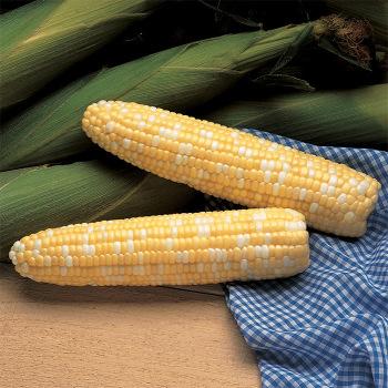 Serendipity Hybrid Sweet Corn