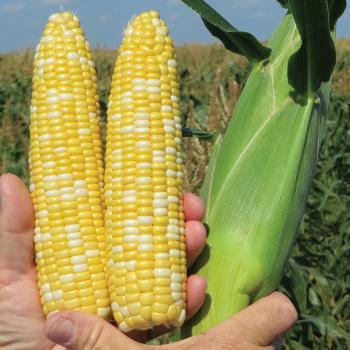 Summer Sweet Multisweet Ssw 2742bc Hybrid Sweet Corn