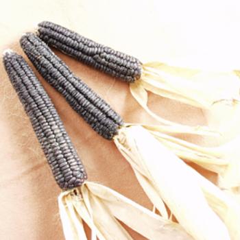 Black Aztec Ornamental Corn