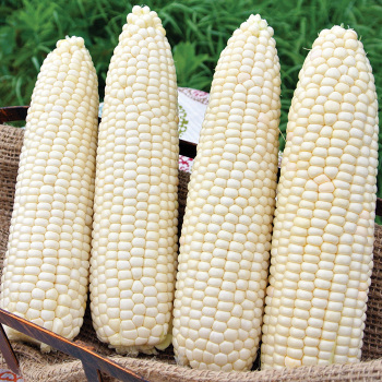 Glacial Hybrid Sweet Corn