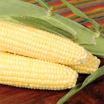Bodacious Rm Hybrid Sweet Corn - 150 seeds