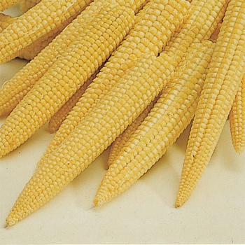 Bonus Hybrid Corn