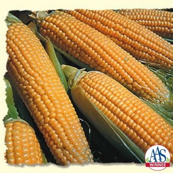 Iochief Hybrid Sweet Corn