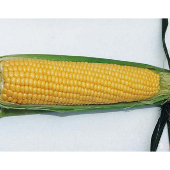 Northern Xtra Sweet Hybrid Sweet Corn