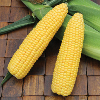Summer Sweet Multisweet Ssw 7403ry Hybrid Sweet Corn
