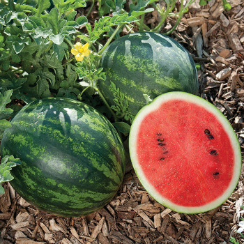Mini Love Hybrid Watermelon - 10 seeds