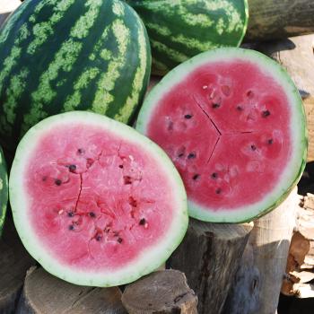 Sweet Dakota Rose Watermelon