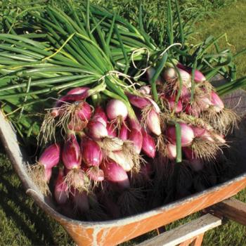 Red Torpedo Tropea Onion