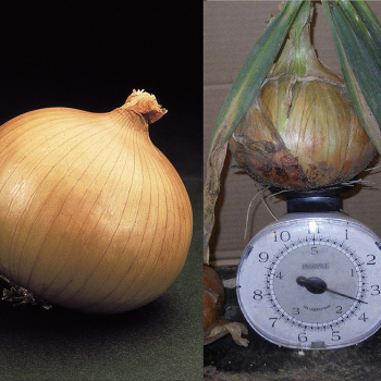 Sweet Onion Collection