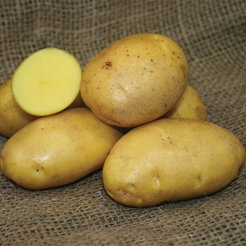 German Butterball Potato - 25 eyes