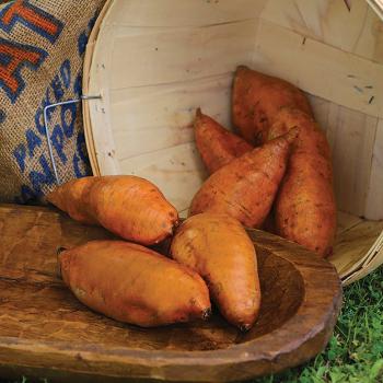 Centennial Sweet Potato