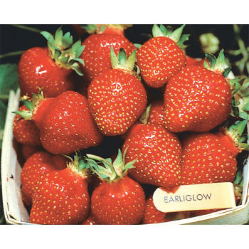 Earliglow Strawberry